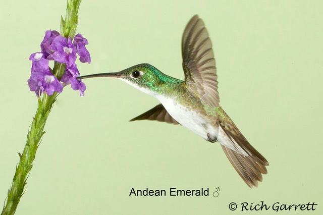 Andean Emerald ♂