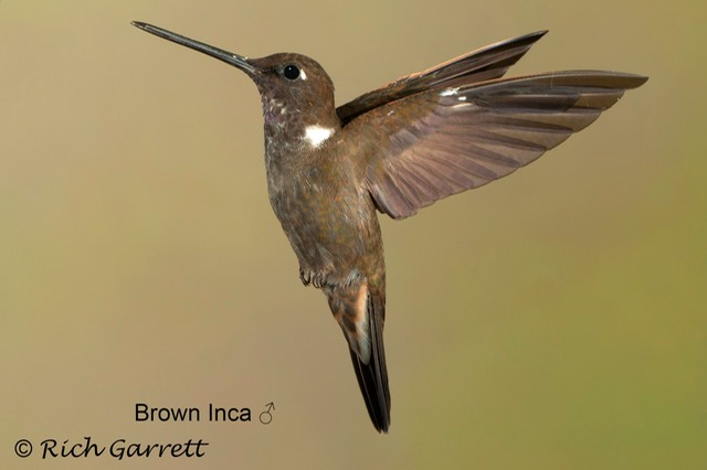 Brown Inca ♂