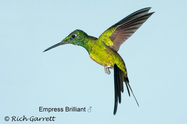 Empress Brilliant ♂