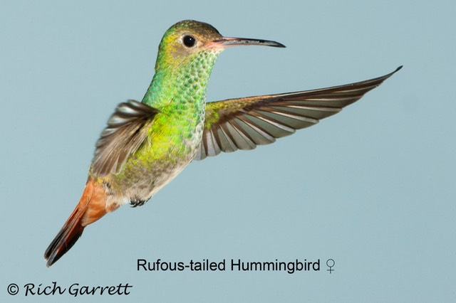 Rufous-tailed Hummingbird ♀