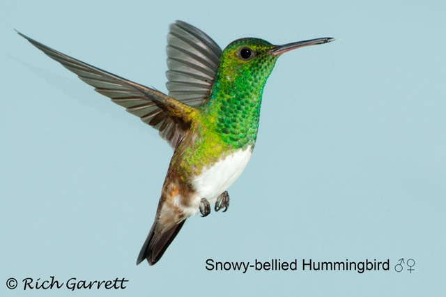 Snowy-bellied Hummingbird ♂♀