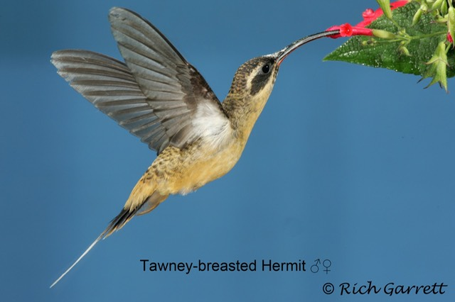 Tawney-breasted Hermit ♂♀