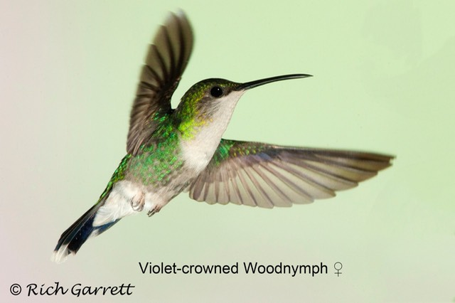 Violet-crowned Woodnymph ♀