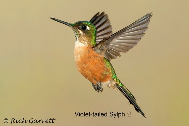 Violet-tailed Sylph ♀
