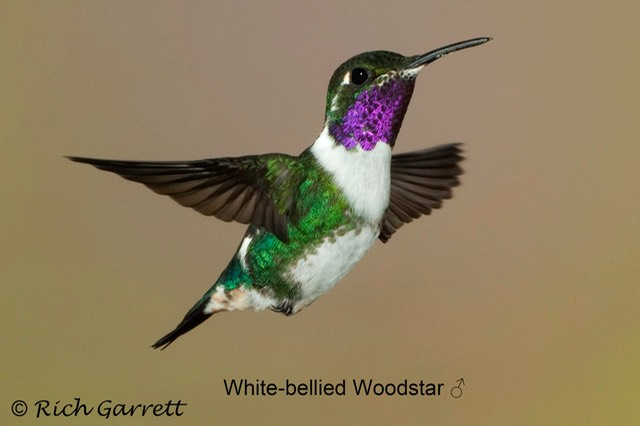 White-bellied Woodstar ♂